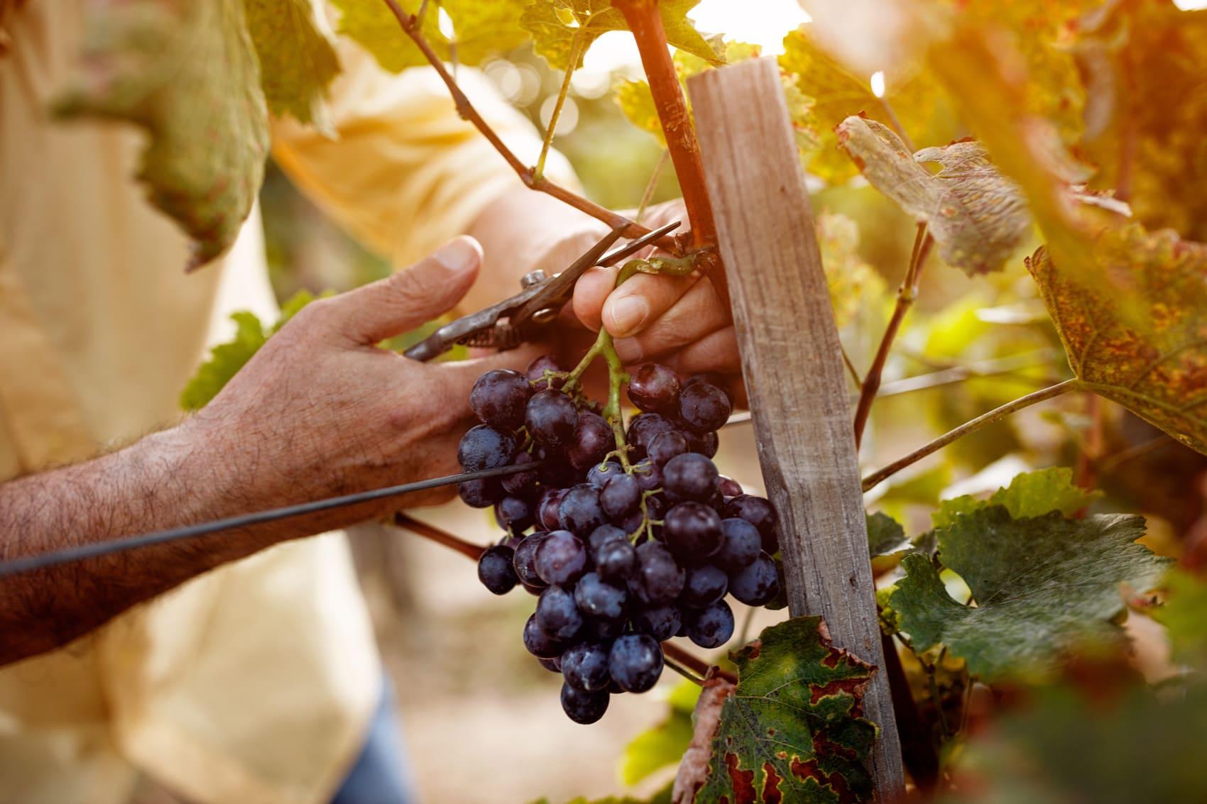 viticoltua